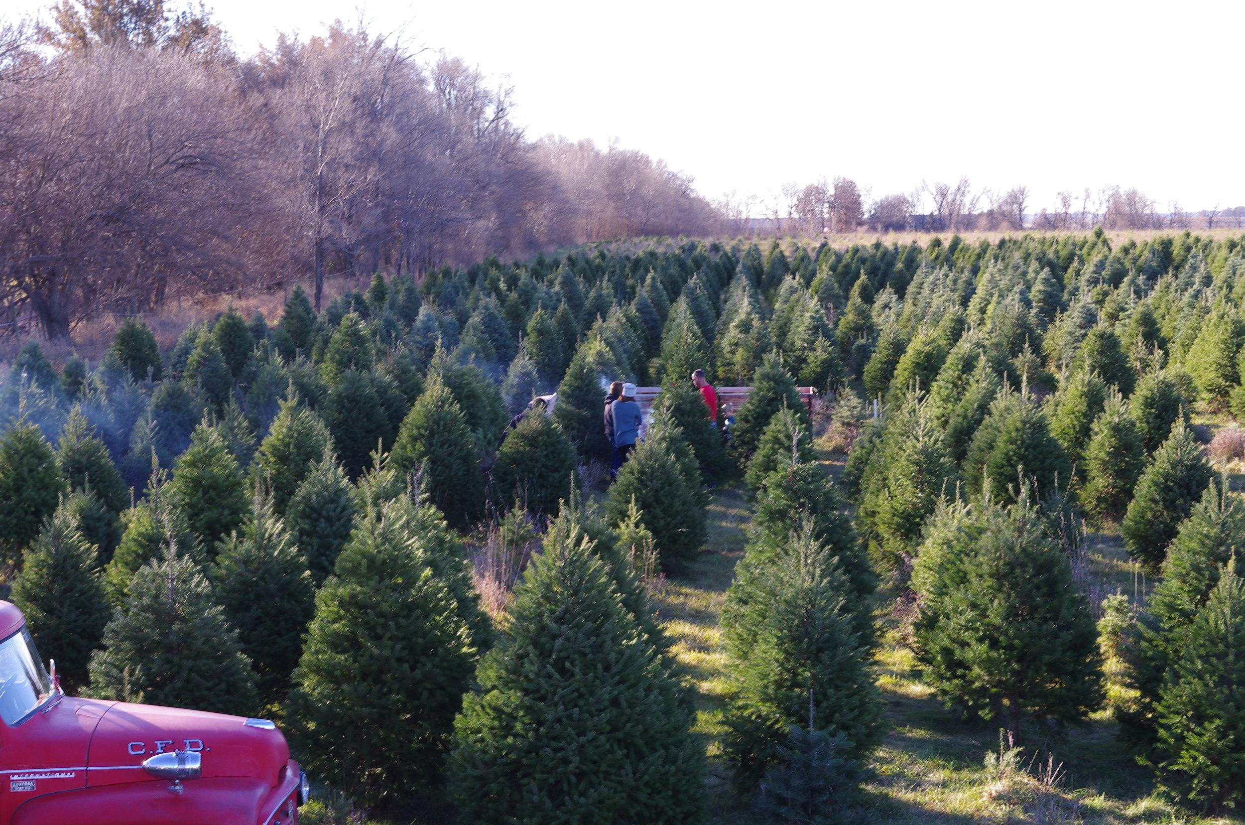nordstroms tree farm fresh douglas - Nordstrom Christmas Hours