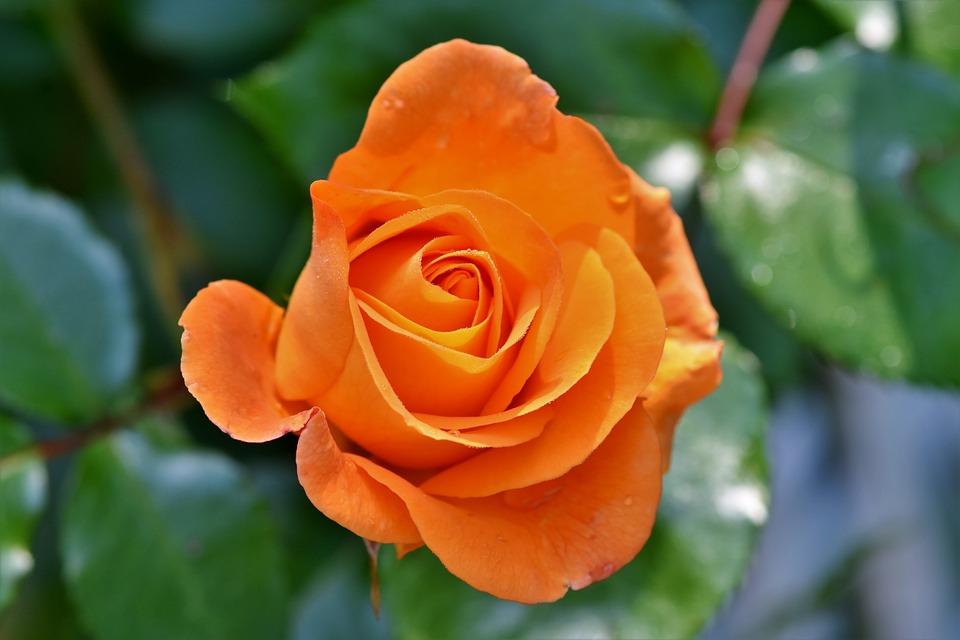 rose-3430964_960_720.jpg