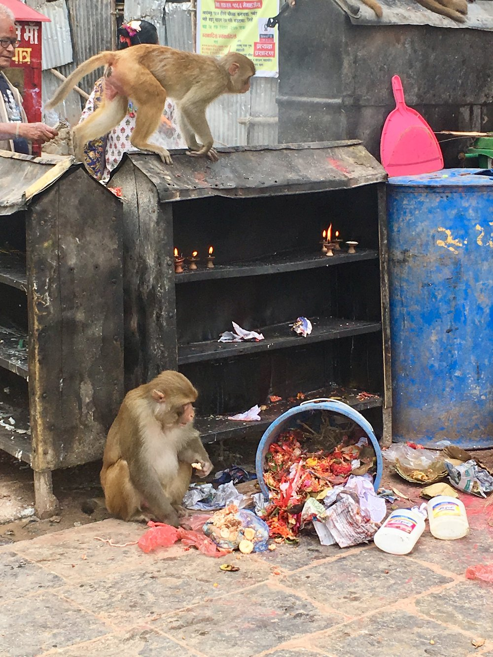 The last time I visited a temple overrun with monkeys it was the Batu Caves in Malaysia and two of the rascals attacked me. One pulled my hair while I simultaneously played a game of tug-of-war with another for my handbag.