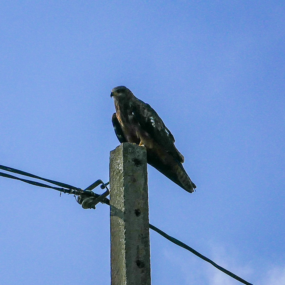 Papped hanging out at Begnas Lake. These birds of prey are all over Nepal. We reckon they're Black Kites.