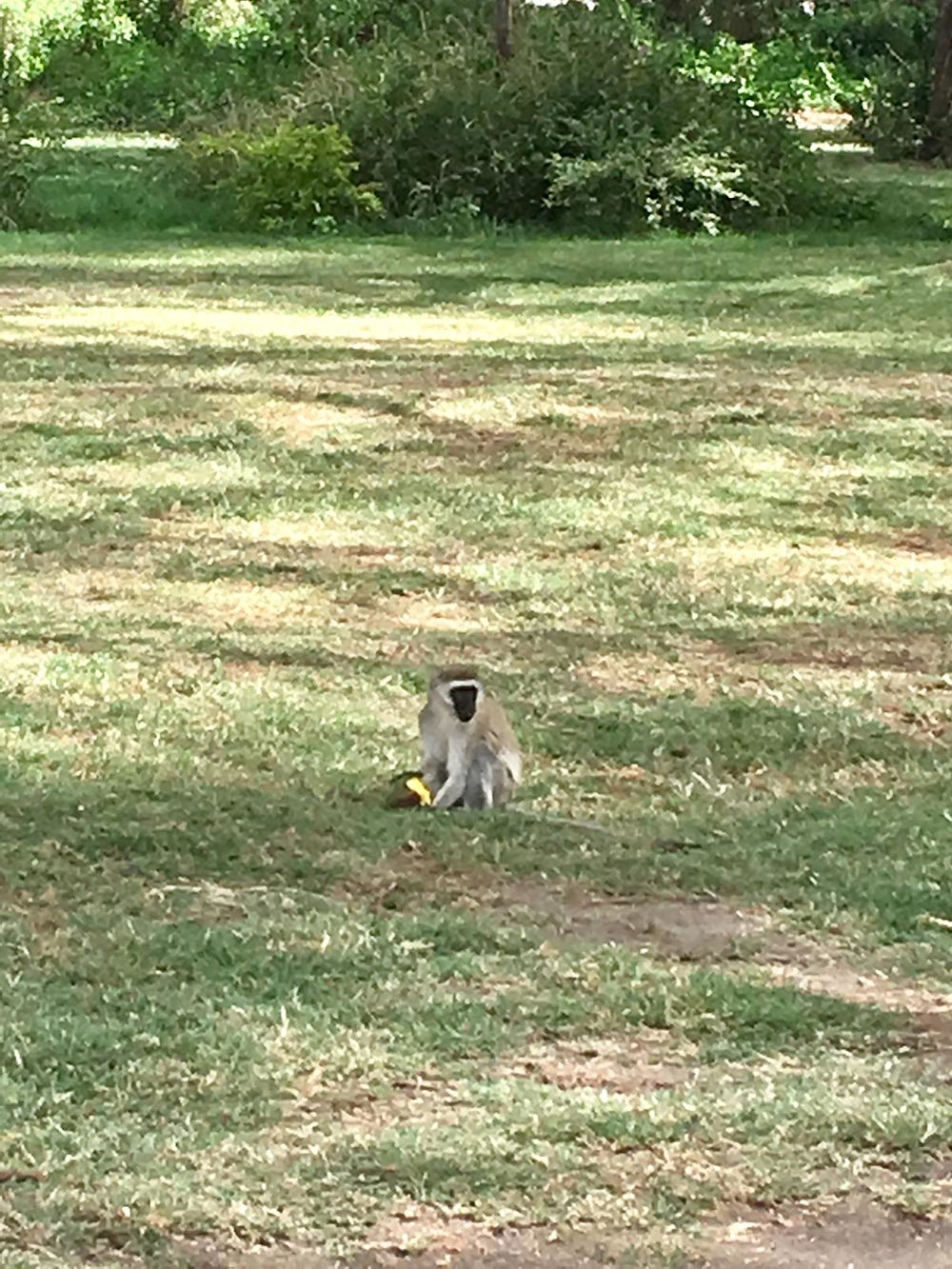 If you do find yourself at Camp Carnelly's, watch out for the vervet monkeys, they will literally steal food off your table. They stole our mango and bananas! What rookies for leaving them lying around.