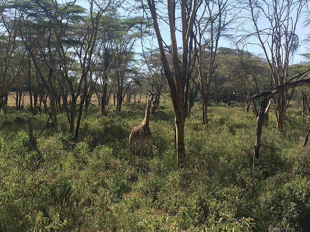 Giraffe frolick around Lake Naivasha. As do warthogs, aka Pumba, we just need to find Timone now.
