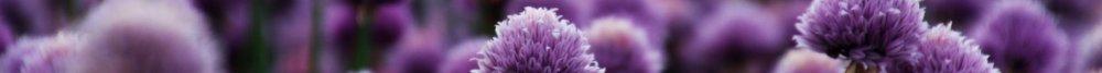 Purple field of flowers.