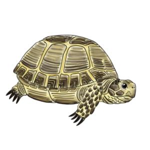 Russian Tortoises!