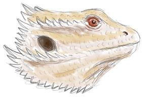 Bearded Dragon Sketch Profile.jpg
