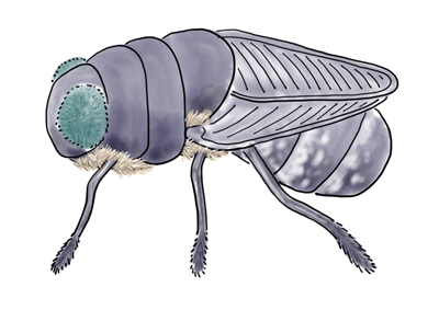 An adult botfly