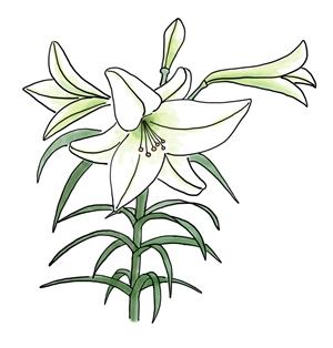 Easter lily ( Lilium longiflorum )