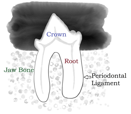 Tooth Xray Labeled 500.jpg