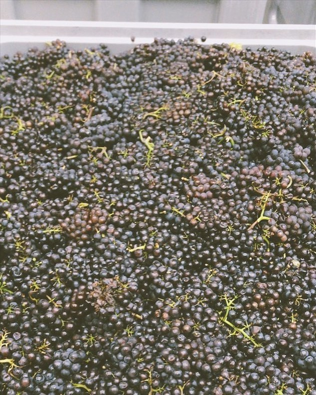 Crazy times of the year! Different grapes are maturing very quickly and at the same time in some towns and it becomes a bit tricky for the wineries. Here is Pinot Gris, being harvested today. 🍇 #switzerland  #harvest2018