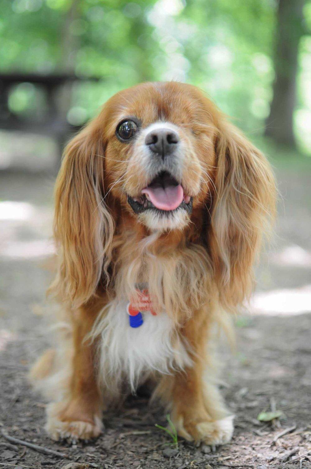 Roxy Therapy Dog Irina