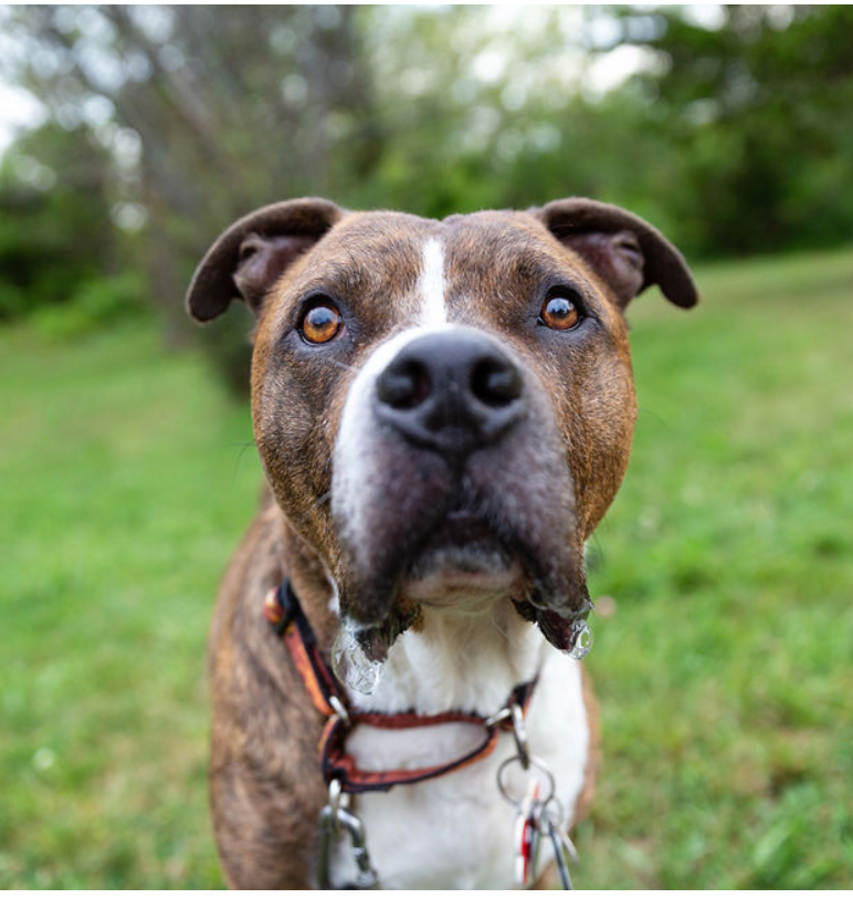 Tigger - Tigger was the first Pit Bull with Roxy Therapy Dogs. He was a gentle soul who didn't walk, but
