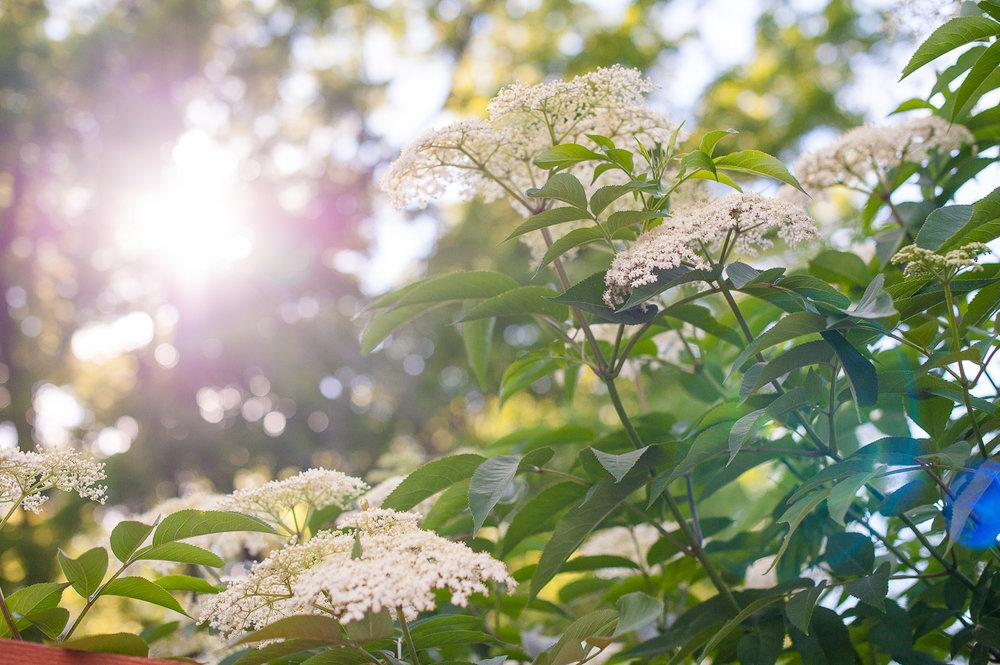 TerraSura-Elderflower-Web-5334.jpg