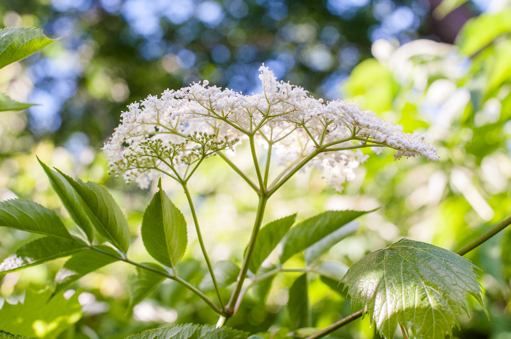 TerraSura-Elderflower-Web-5354.jpg
