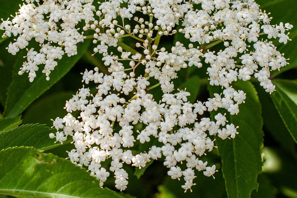 TerraSura-Elderflower-Web-5362-2.jpg