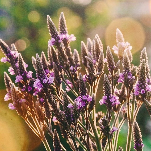 Blooming Blue Vervain.  A light in many peoples lives relaxing and balancing the mind and body.  PC: @terrasuraphotography