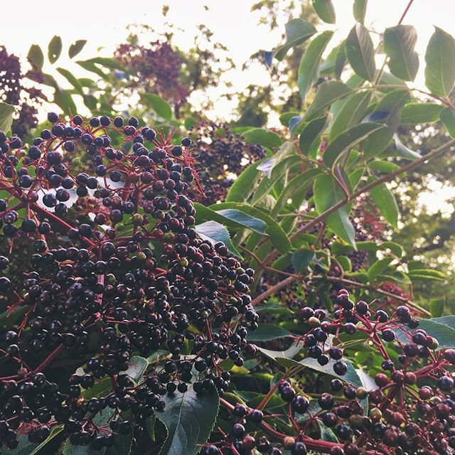 It's officially elderberry season in the twin cities!  Thanks to my mom for keeping an eye out there and sorting the berries for me I am able to make some delicious elderberry syrup for the year!  Some of Minnesota's finest preventative medicine for influenza boosting our immunity!