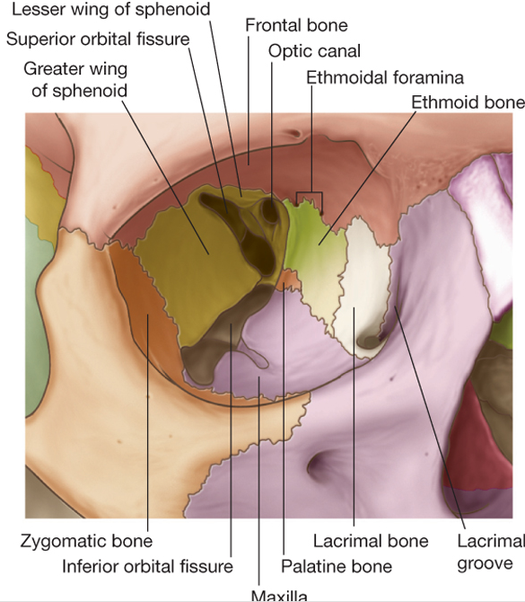The right orbit. Each bone is a separate color, and labeled.  Image from  StudyBlue.com