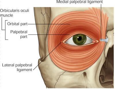 The orbicularis oculi muscle.  Image credit:  healthfixit.com .