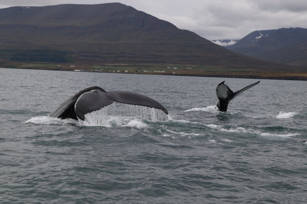 Humpback whales in Dalvik, Iceland. Photo by Thomas Kear.