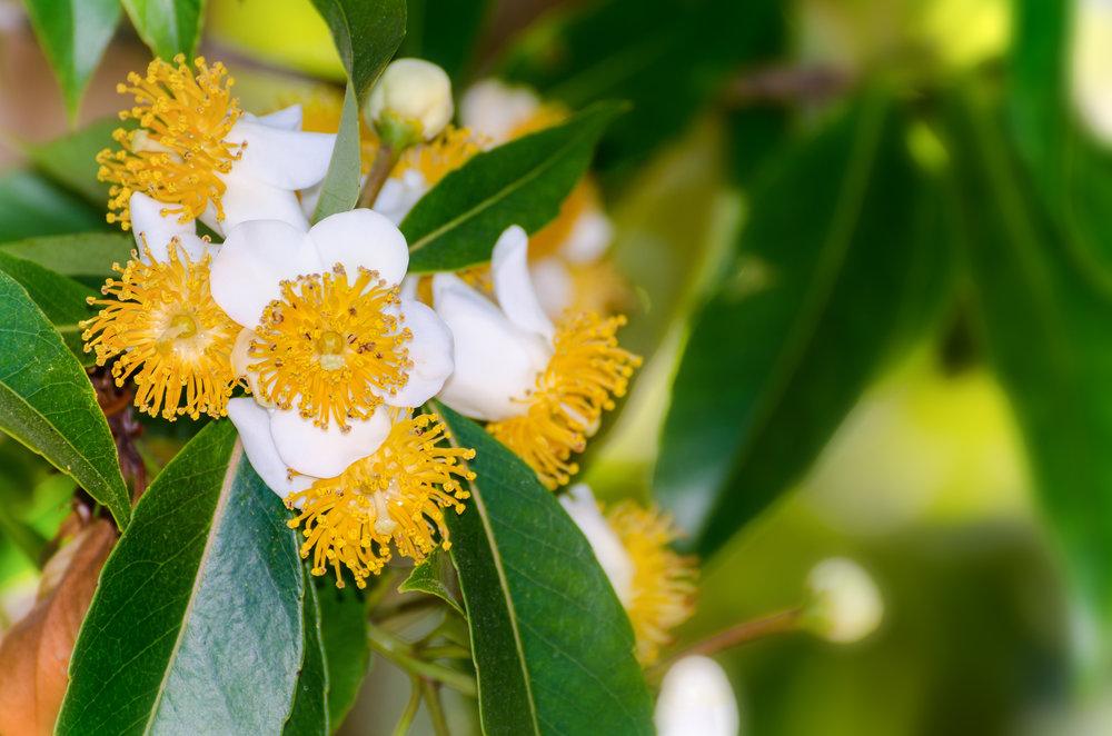 The tamanu flower, indigenous to Polynesia.