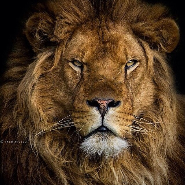 My next tattoo needs to be this lion.