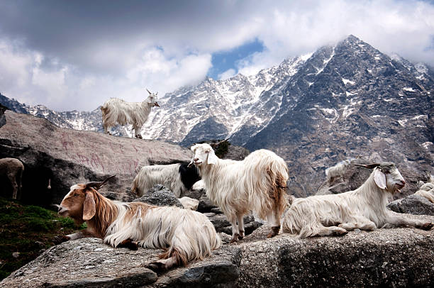 The Original Home of Cashmere - The cashmere goat is indigenous to Kashmir where the region's people have been looming its wool since the 1500s. Today, less than 1% of the world's cashmere comes from this area of the Indian Himalayas, while most is sheared from hybrid goats at lower qualities in countries like Mongolia and China.