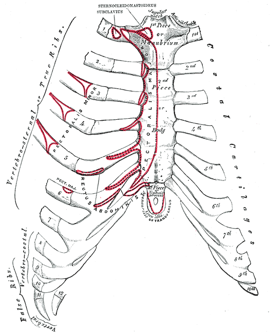 Anterior surface of sternum and costa cartilages via   Gray's anatomy