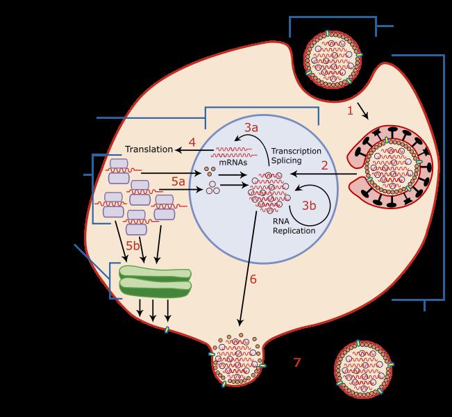 Influenza virus replication via   Wikipedia