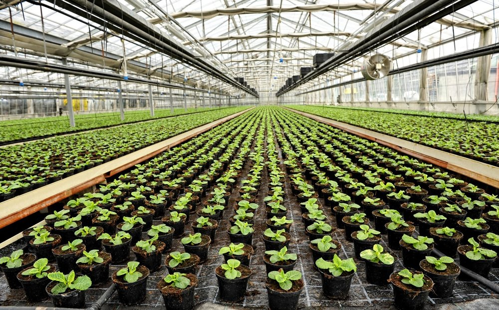 121115_Growing-Weed-the-Greenhouse-Way.jpg