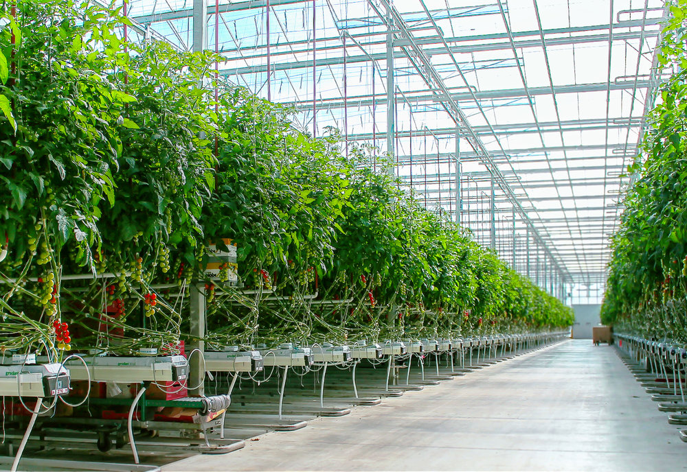 muccci_farms_greenhouse_interior.jpg