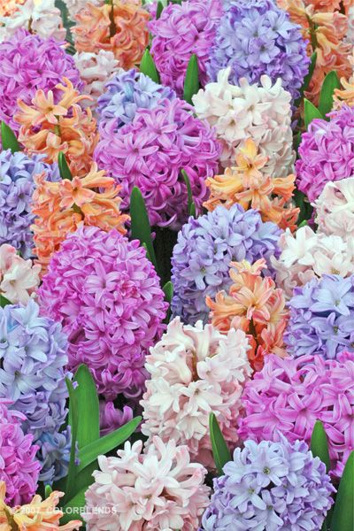 Hyacinth - Click through for photo credit