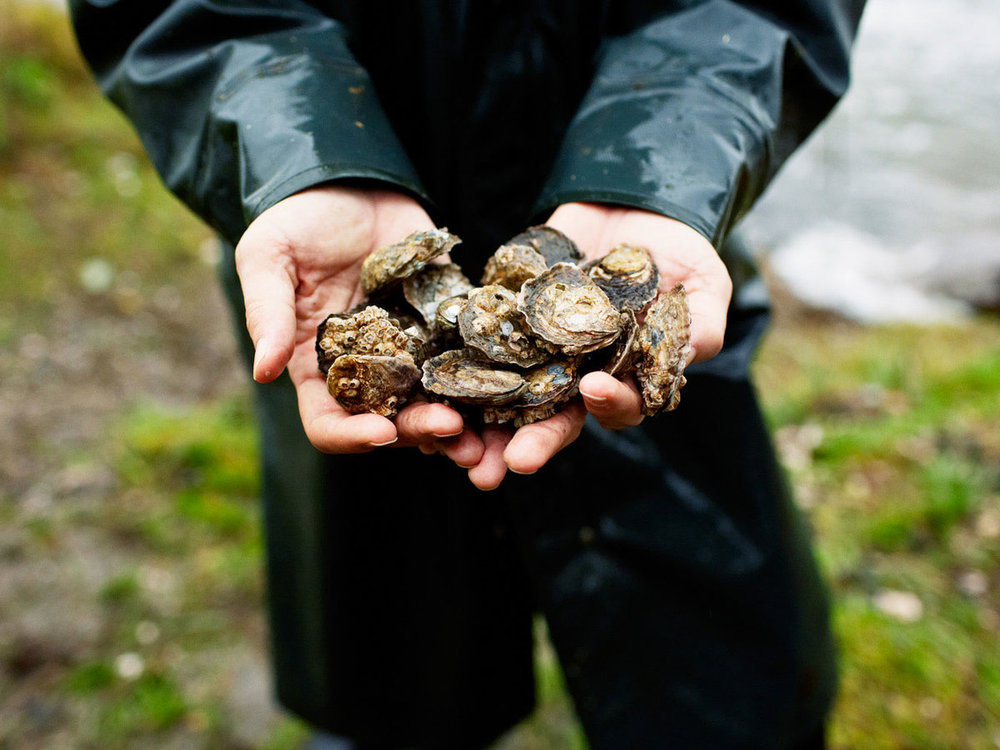 Considered jewels of the West Coast, Olympia Oysters are the only oyster species local to the area.