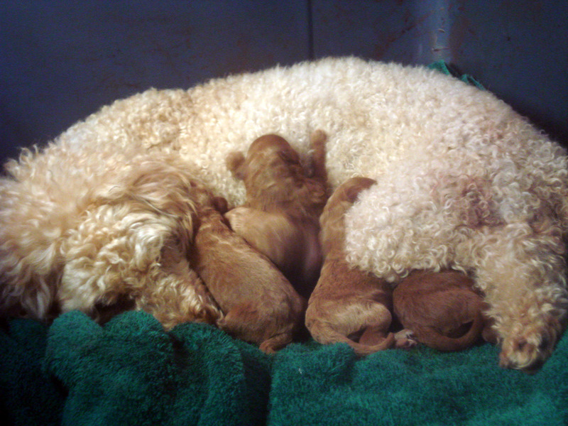 Pantoufle's Puppies - French Poodles