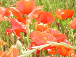 Red Poppies in the Springtime
