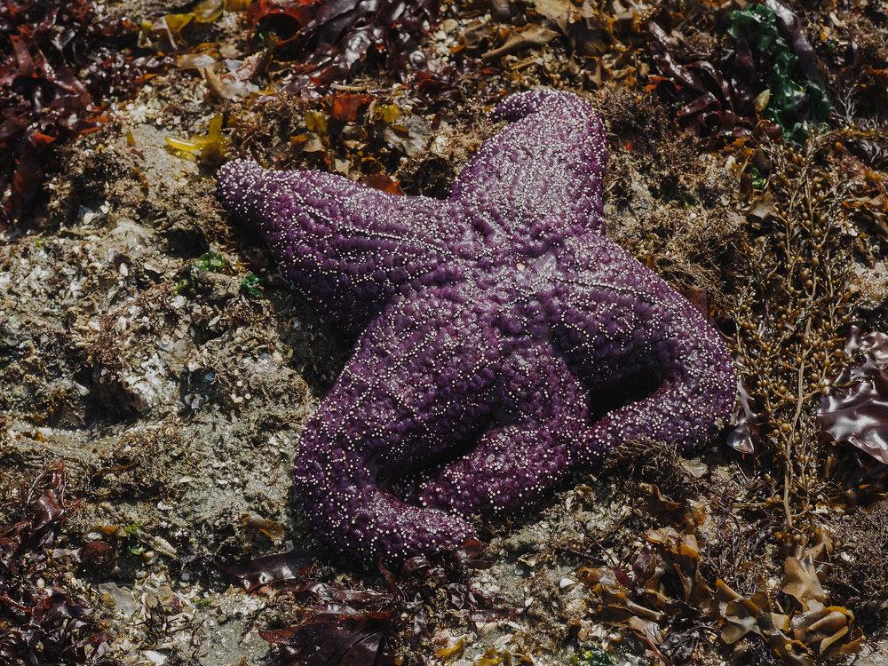 Purple ochre star- Constellation Beach