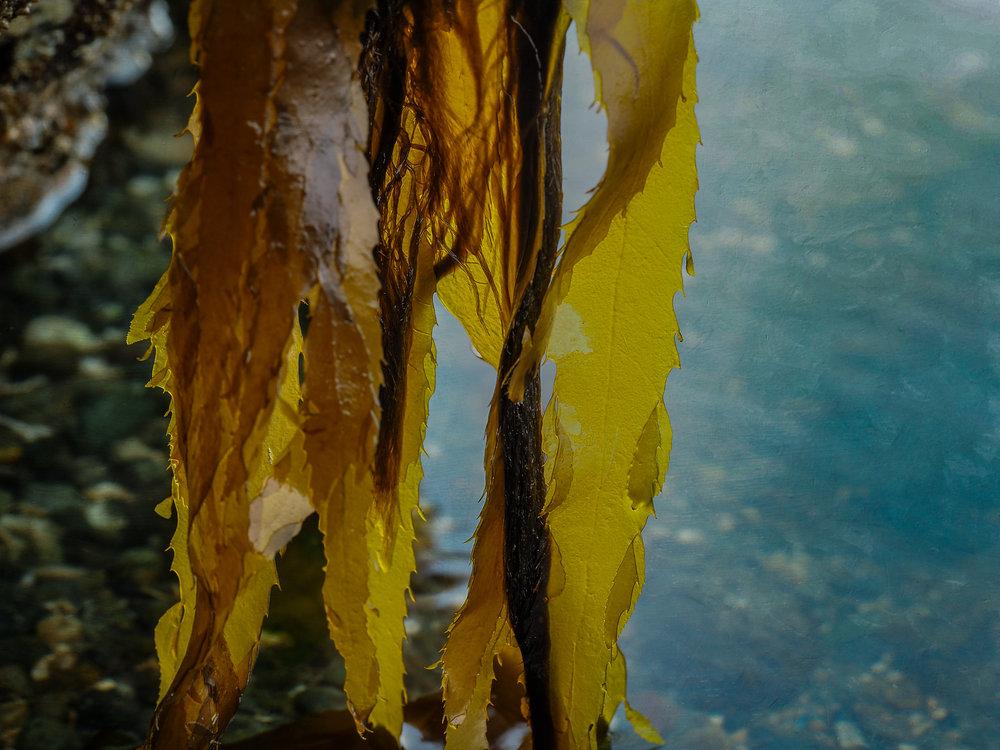 Acid kelp-Golden Gardens