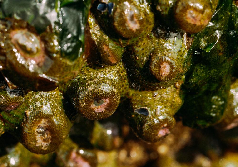 Aggregating anemones-Golden Gardens