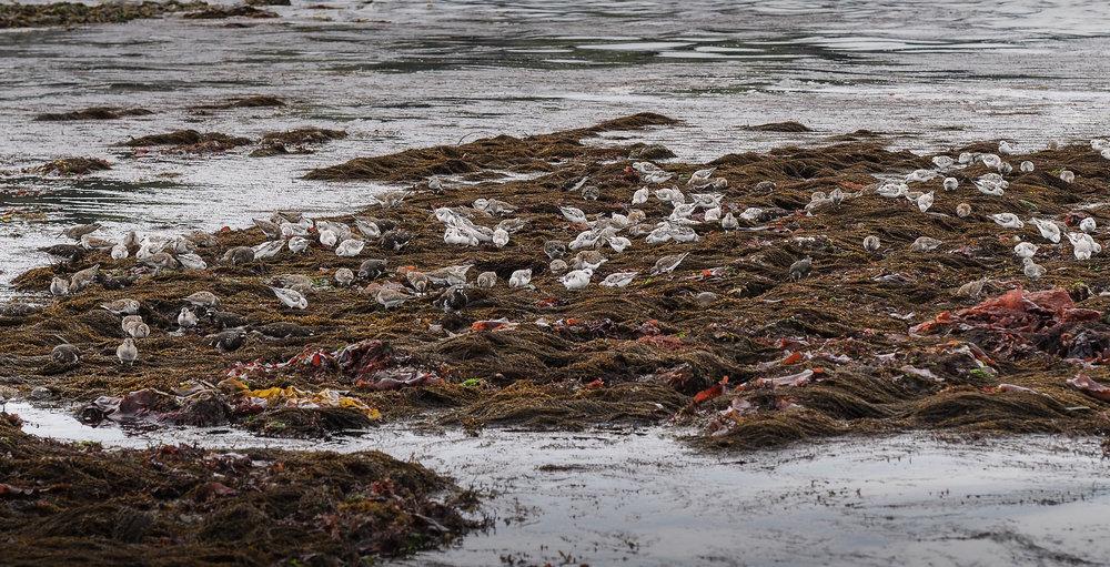 Shore birds- Constellation Beach