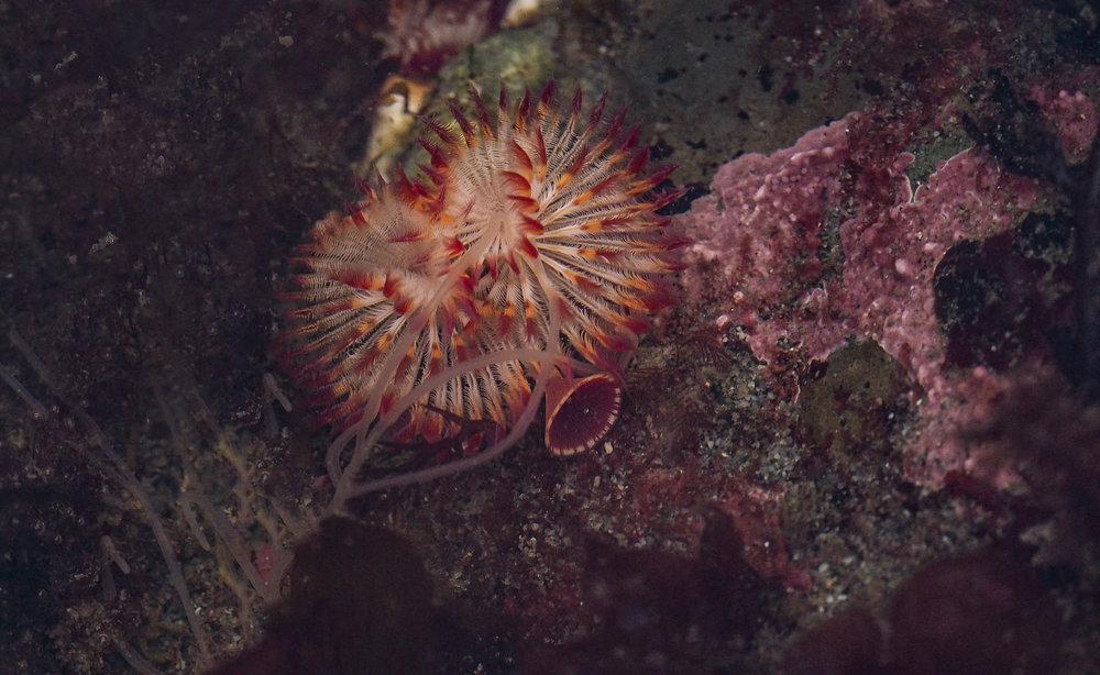 Calcareous tube worm-Constellation Beach