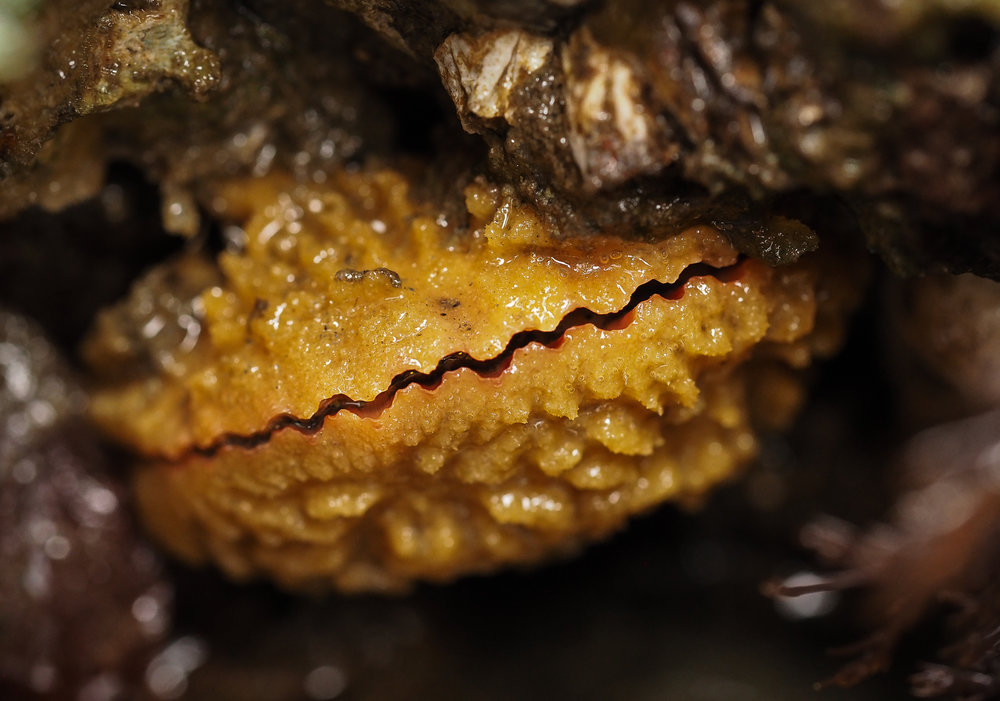 Spiny pink scallop covered in sponge-Constellation Beach