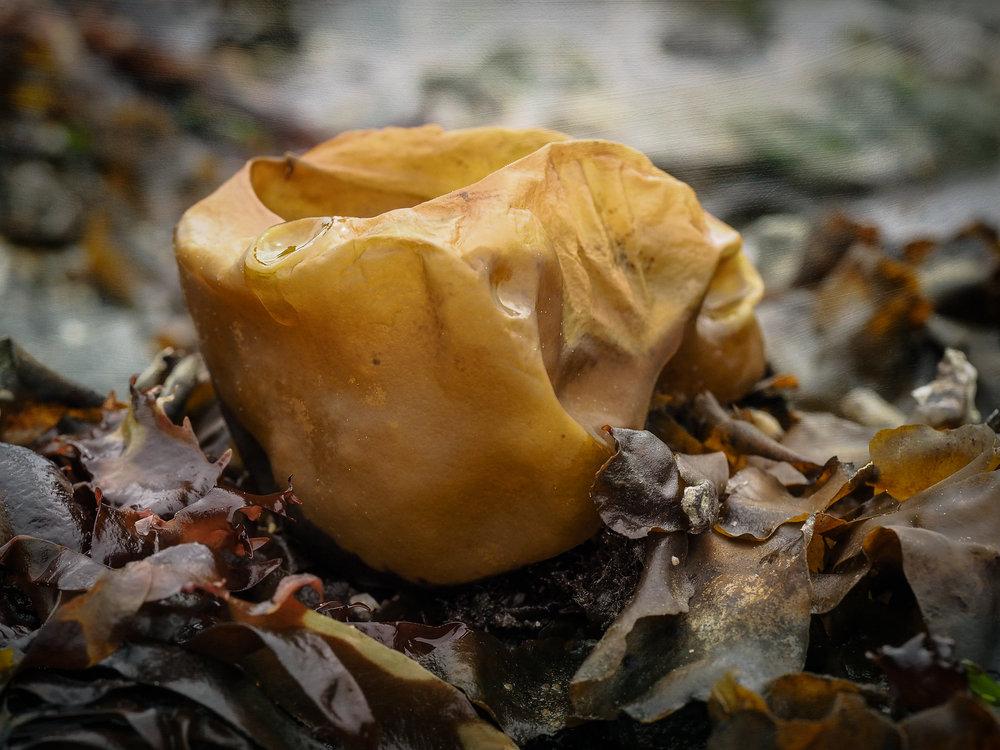 Seaweed- Constellation Beach