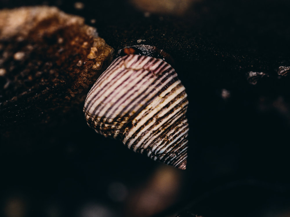 Top snail-Constellation Beach