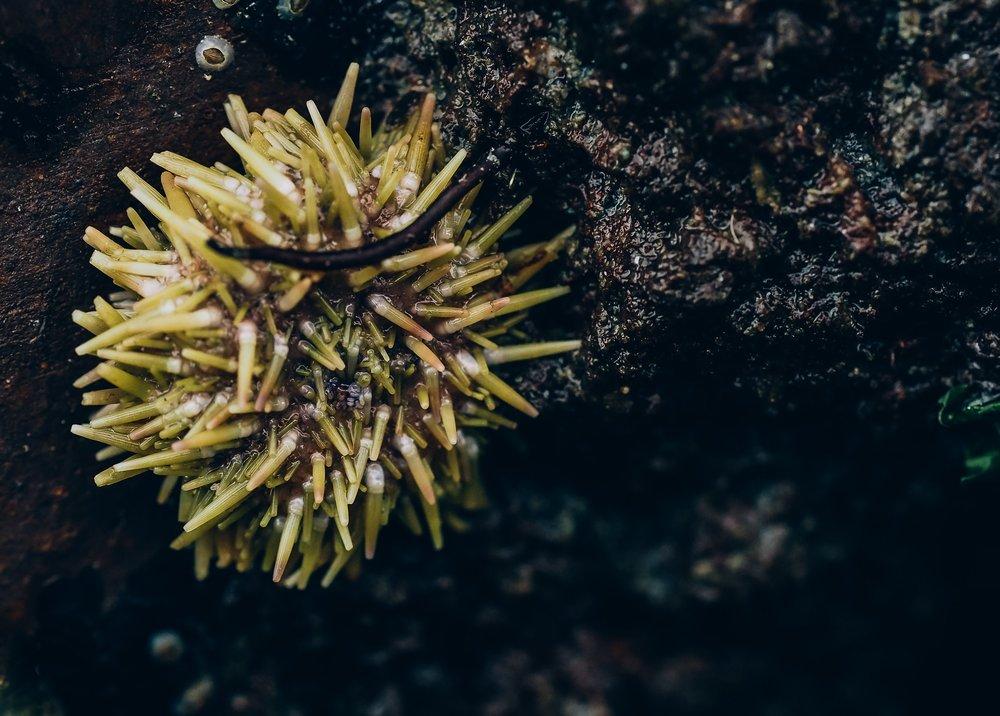 Green sea urchin-Constellation Beach