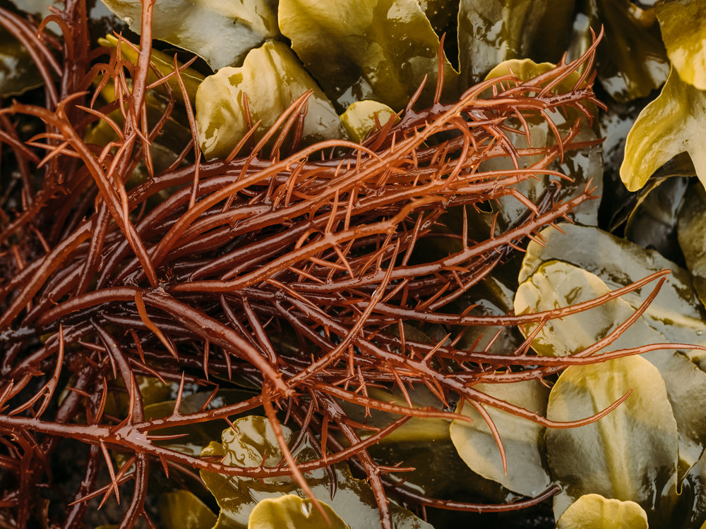 Succulent Seaweed (Sea Noodles) and Rockweed