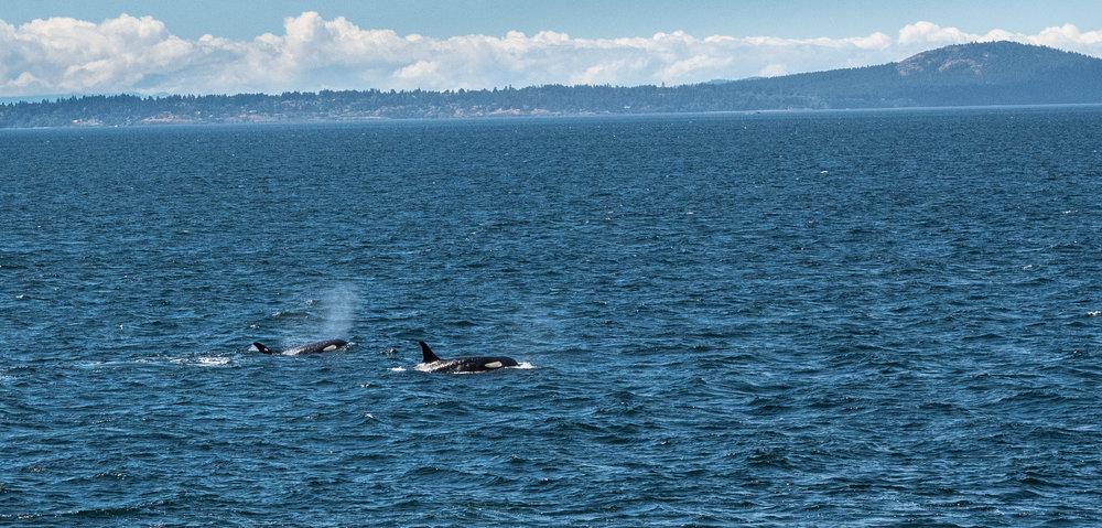 orcas q.jpg