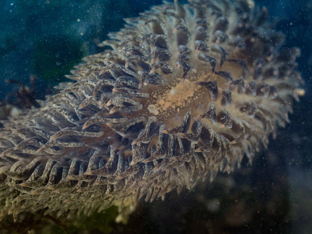 Shaggy Mouse Nudibranch, Cannon Beach, OR