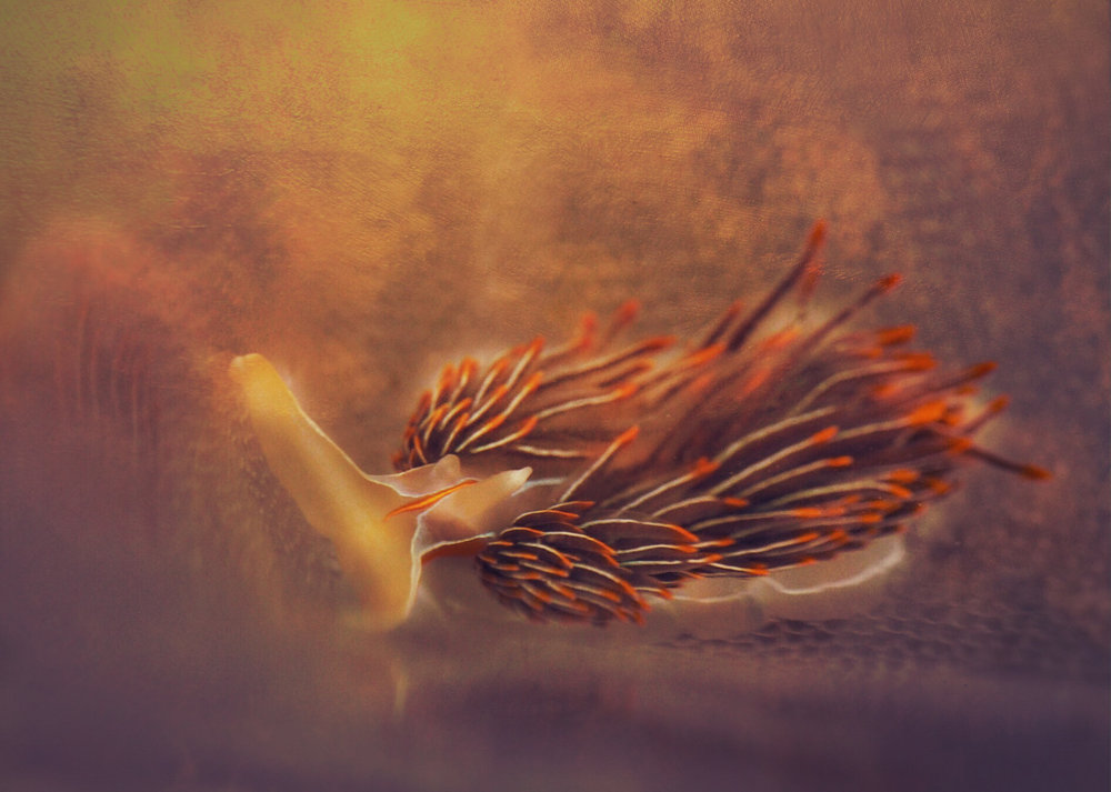 Opalescent nudibranch//Hermissenda crassicornis