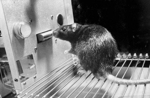 Skinner Rat.jpg