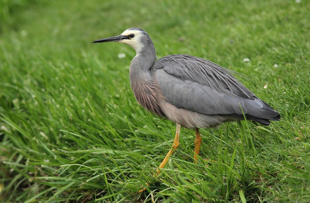 White-faced heron. Adult in breeding plumage. Anderson Park, Taradale, Napier, January 2012. Image © Adam Clarke by Adam Clarke