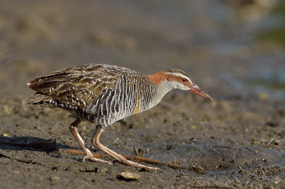 Banded rail. Adult. Great Barrier Island, January 2014. Image © Bartek Wypych by Bartek Wypych